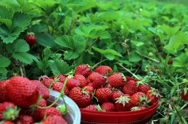 Сбор ягод клубники в средней полосе