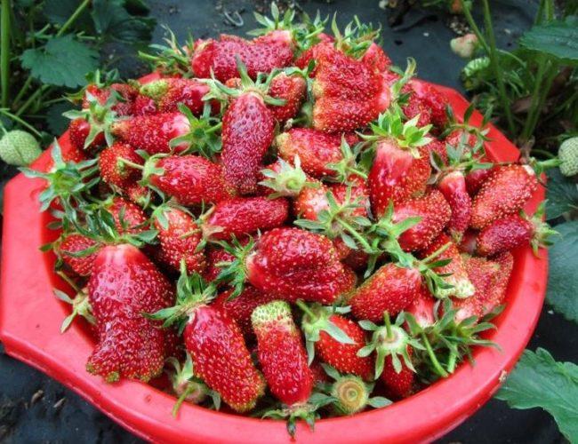 Пластиковый тазик со спелыми ягодами клубники сорта Купчиха