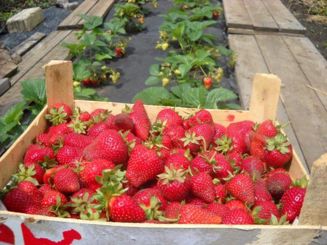Ящик с ягодами клубники Сирия, выращенной садоводом-любителем из Ставропольского края
