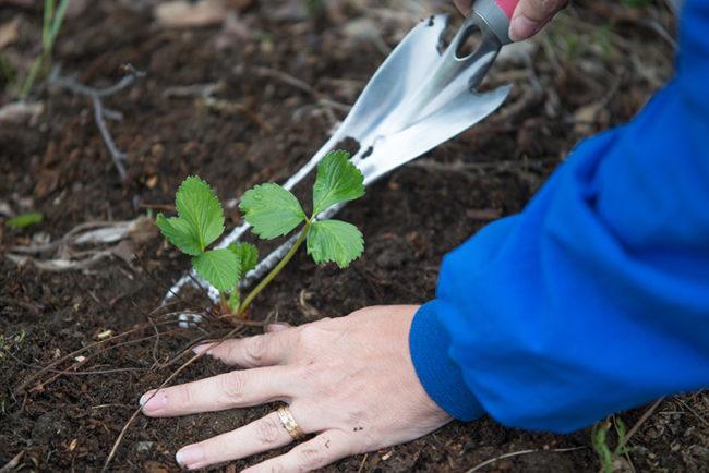 Укоренение розетки уса садовой клубники для получения нового посадочного материала