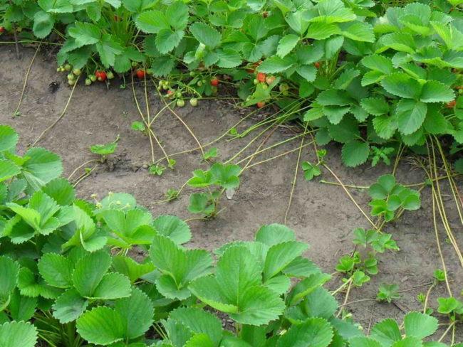 Кусты клубники с усами в саду