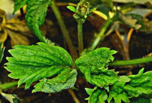 Свернутые листья клубники, признак нематоды