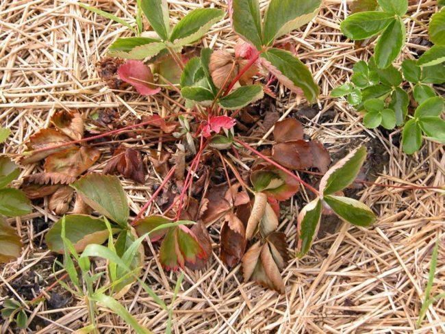 Куст клубники с увядшими листьями и черешками, результат фузариозного увядания