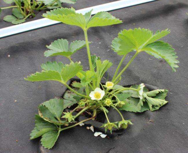 Молодой кустик садовой клубники с признаками увядания: листья сморщились и легли на грунт