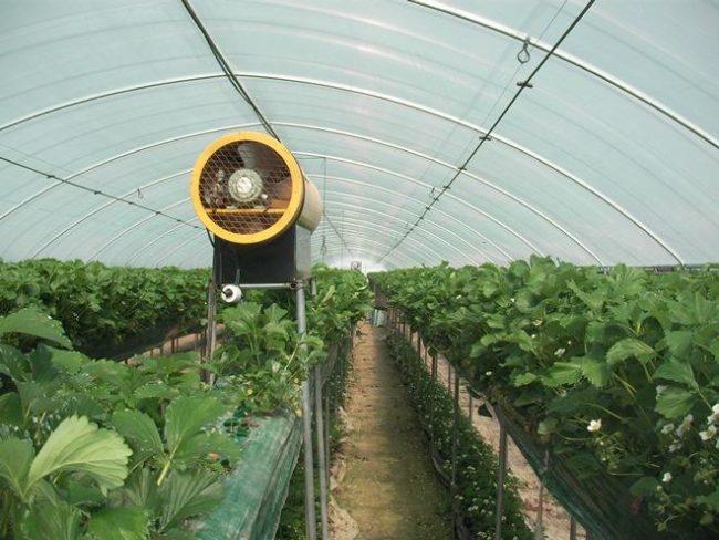 Технология выращивания клубники в теплице 23
