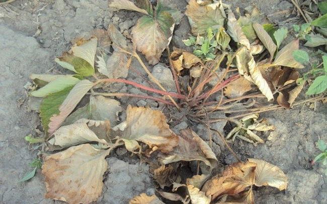 Куст клубники с увядшими листьями