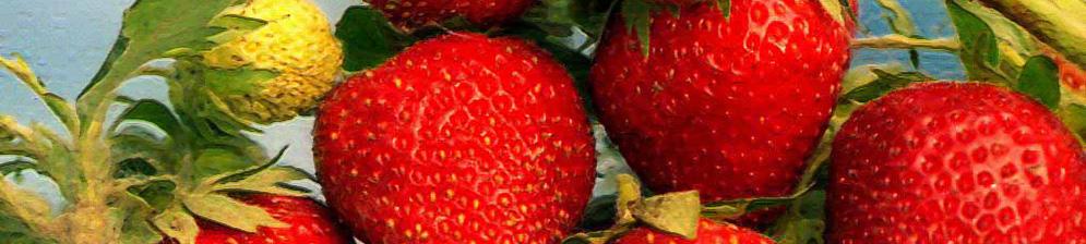 Спелые плоды клубники Вима Кимберли вблизи
