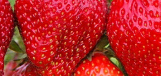 Плоды клубники Вима Рина вблизи