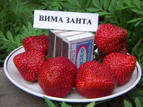 Размеры ягоды клубники сорта Вима Занта