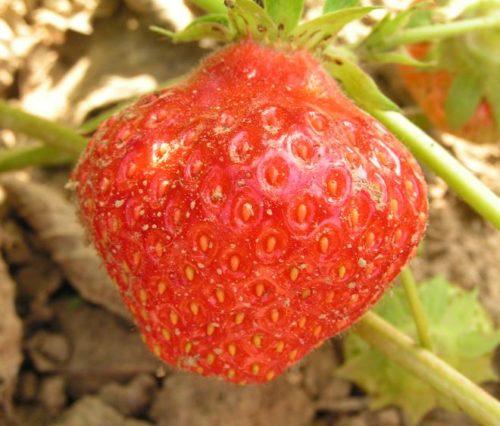 Спелая ягода клубники Вима Занта вблизи