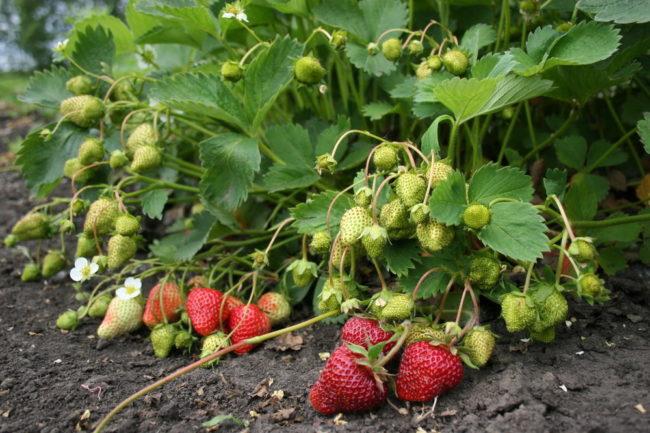 Куст клубники Вима Занта с ягодами