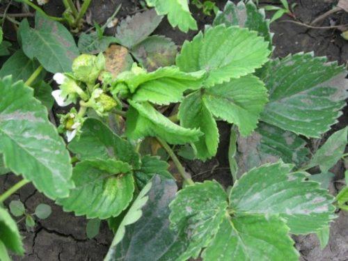 Куст клубники с уродливыми скрученными листьями и соцветиями