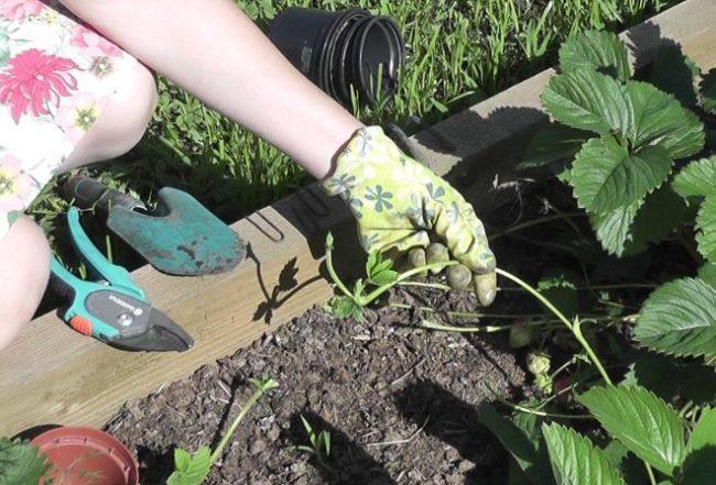Розетка с маточного куста садовой клубники, выбор усов для укоренения
