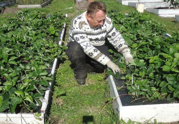 Садовод ухаживает за своей любимой клубникой, выращиваемой на высокой грядке