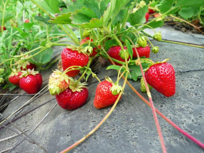 Клубника с ягодами и с усами