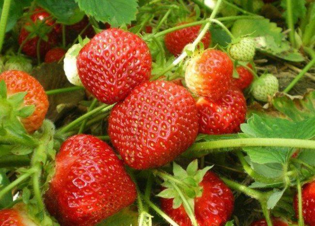 Плотные ягоды клубники сорта комсомолка