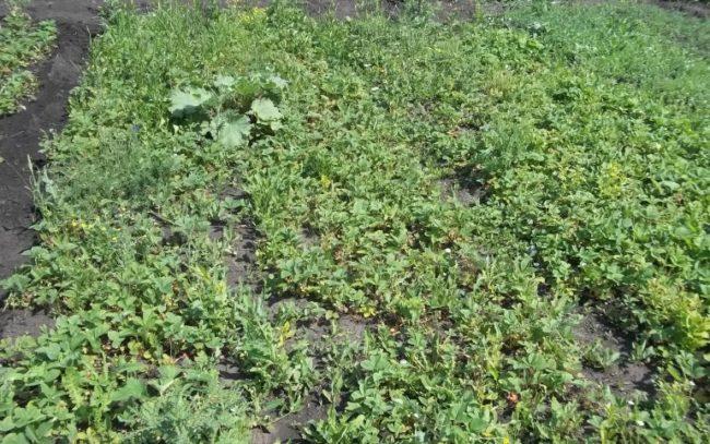 Заросшая сорняками грядка клубники