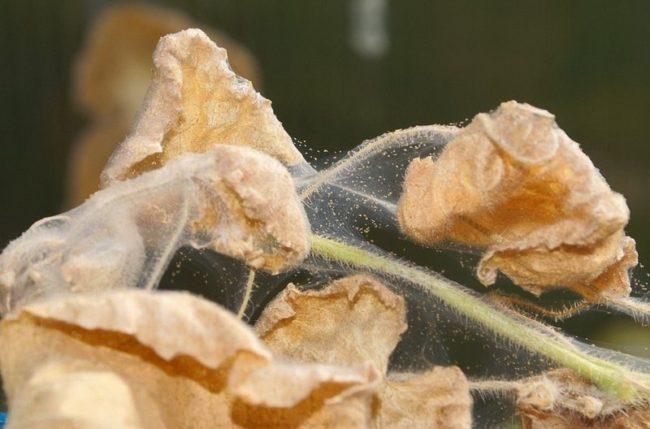 Погибшие от клеща листья клубники садовой