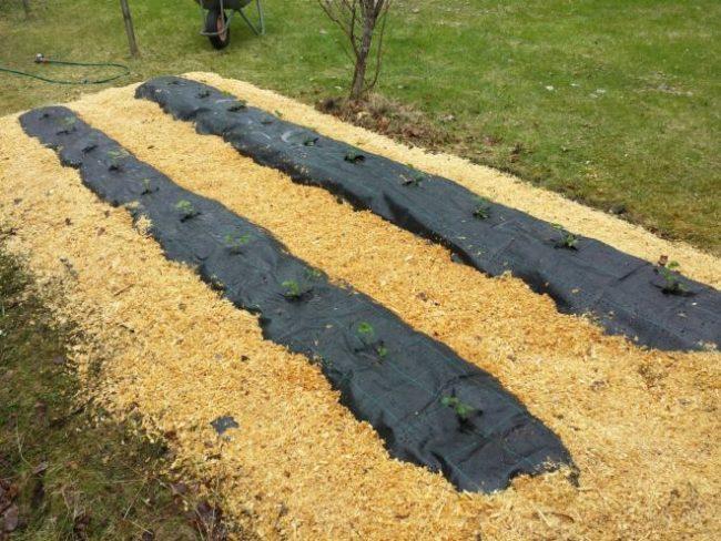 Грядки под черным материалом с высаженной клубникой, мульчирование проходов опилками