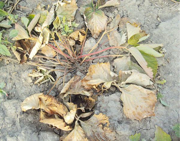 Увядший кустик садовой клубники