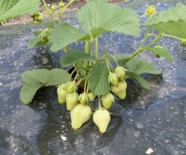 Куст клубники с зелеными ягодами на черном спанбонде