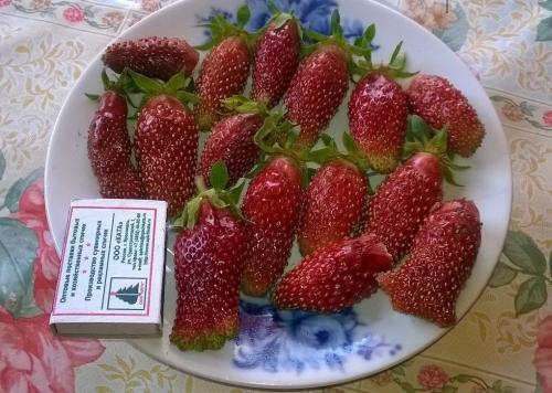 Размеры плодов земклуники купчиха в сравнении с спичичным коробком