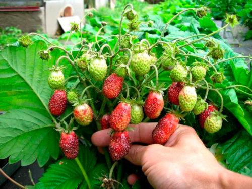 Кустик землеклуники с ягодами