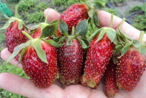 Вытянутые ягоды землеклуники сорта Мускатная Бирюлевская