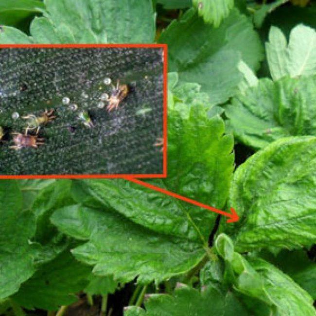 Листья садовой клубники и особи земляничного прозрачного клеща под увеличением