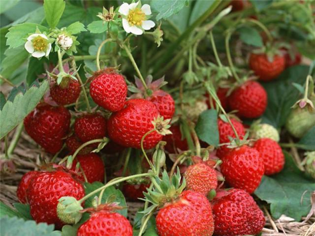 Плоды клубники сорта Зенит лежат под кустом