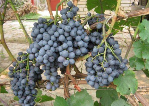 Увесистые гроздья винограда сорта Черный Восторг с ягодами темно-фиолетового цвета