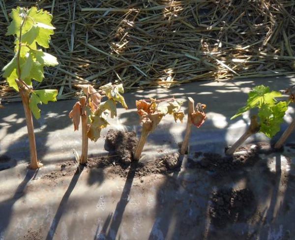 Укоренение черенков винограда под черным укрывным материалом