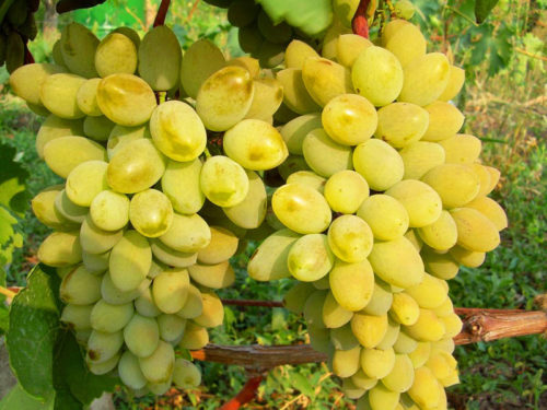 Большие грозди винограда с крупными ягодами