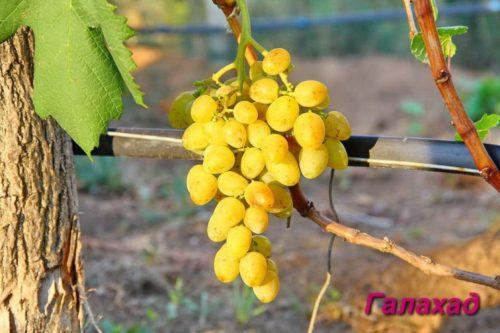 Кисть зелёно-жёлтого винограда