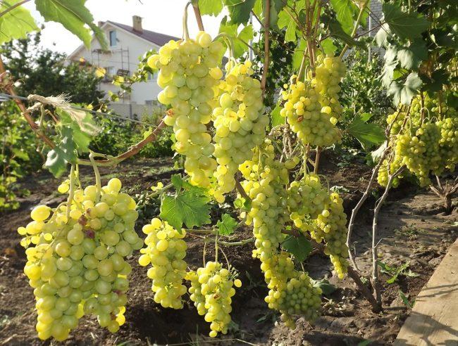 Куст винограда с большими гроздями и зелёными ягодами