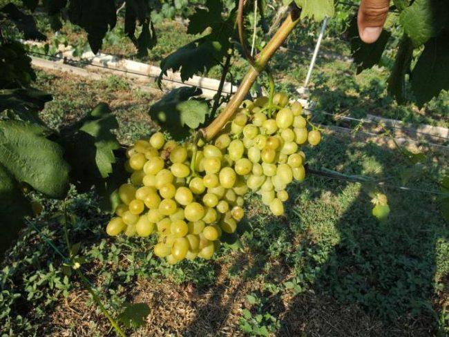Ветви сорта винограда Галахад с крупной ягодой