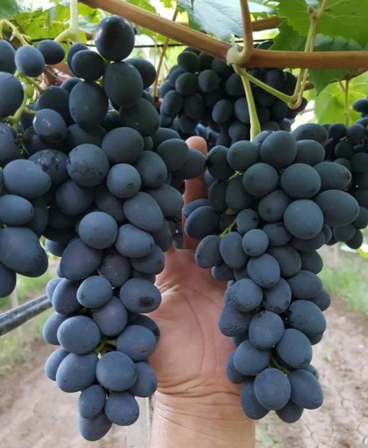 Длинные кисти столового винограда сорта Сфинкс на ветке в период полной зрелости