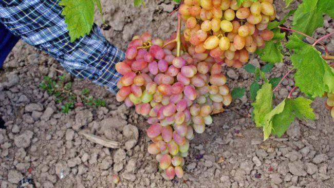 Человек держит рукой большую гроздь винограда сорта Юлиан