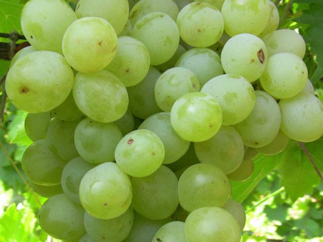 Ягоды винограда сорта Плевен вблизи