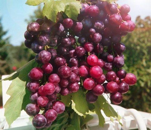 Крупная гроздь винограда сорта Александр со спелыми ягодами красно-фиолетового цвета