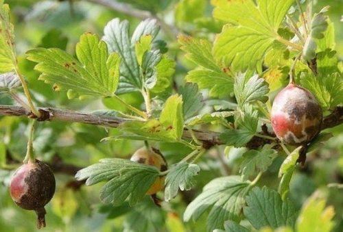 Плоды крыжовника с белесым и коричневым налетом, первые признаки поражения американской мучнистой росой