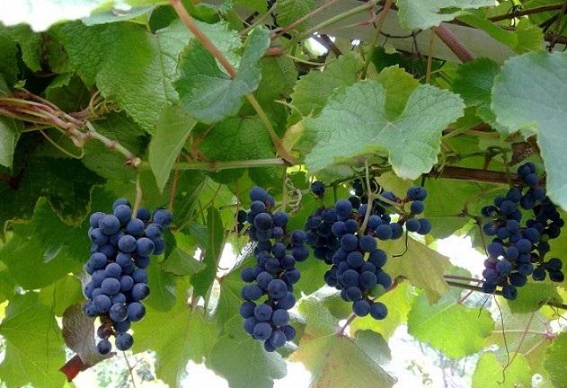 Четыре кисти винограда на лиане, растущей по садовой перголе