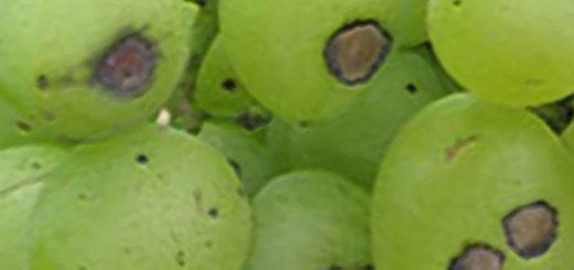 Антракноз на плодах винограда