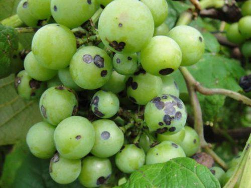 Ягода винограда с впалыми пятнами серо-черного оттенка вследствие поражения антракнозом