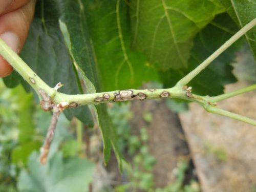 Стебель винограда с грязными буро-коричневыми пятнами овальной формы – признак поражения антракнозом