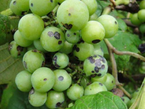 Кисть винограда с серыми пятнами на ягодах, признак поражения антракнозом