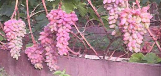Поспевающие грозди винограда Анюта на кусте