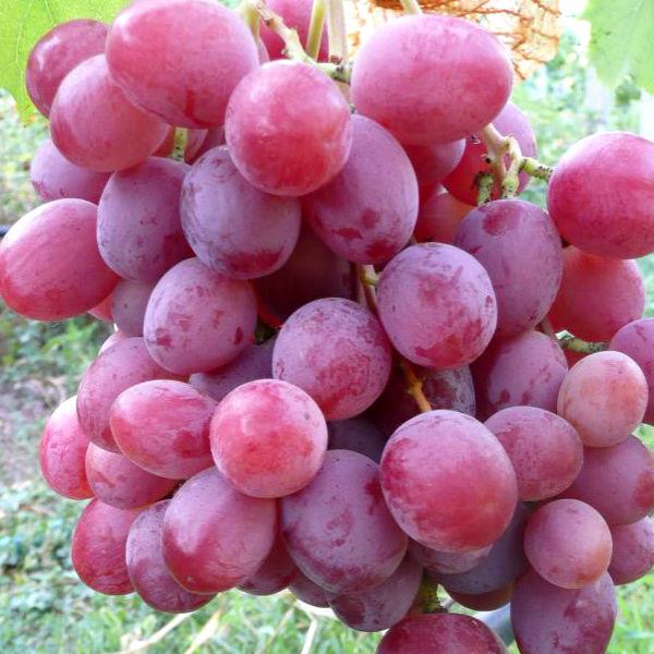 Спелые ягоды винограда Анюта интенсивно розового окраса с виноградника Краснодарского края