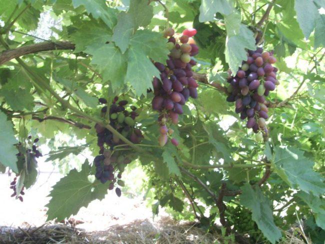 Ветки винограда сорта Атос и грозди с ягодами различной степени спелости