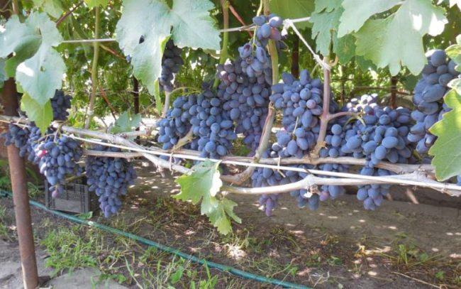 Виноградная лоза с гроздьями темно-синих ягод и шпалера из изолированного провода